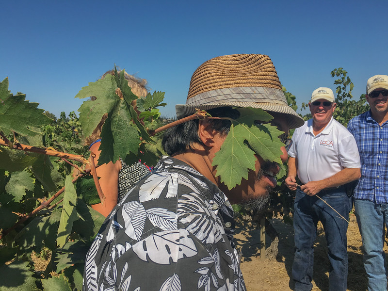 LODI, CA - AUGUST 11-14:  Scenes from the WBC16 post conference excursion to old vine vineyards, tour leader Randy Caparoso gets familiar with vine leaf . (Photo by Dayna Smith/ImageSmith Media)