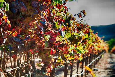 Grapes of Sonoma
