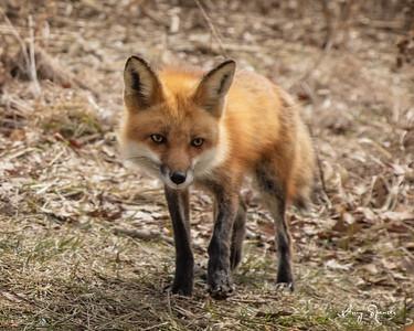 Daddy Red Fox