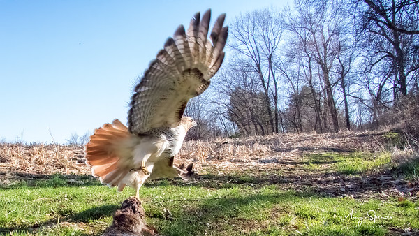 Redtailed Hawk with rabbit