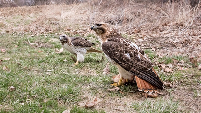 Redtailed Hawk pair