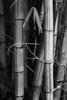 """chinese"" bamboo, camp maluhia, maui"