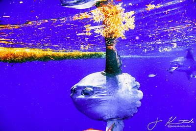 A Stunning Sunfish