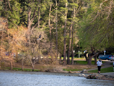 Duck soaring over Marin Civic Center pond. Photo by Chris Grimshaw photo 235