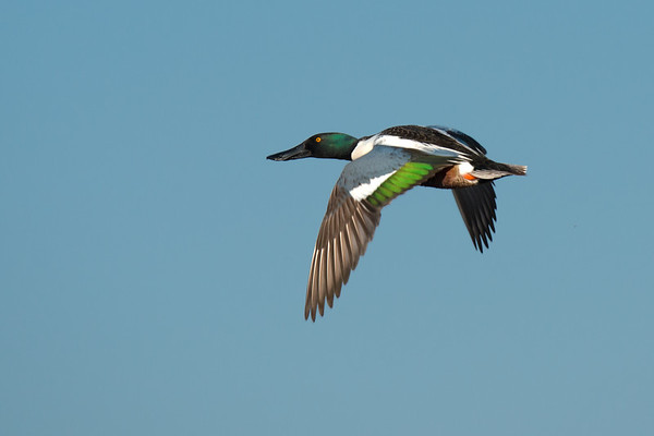 Northern Shoveler male in flight • Montezuma NWR, NY, USA • 2014