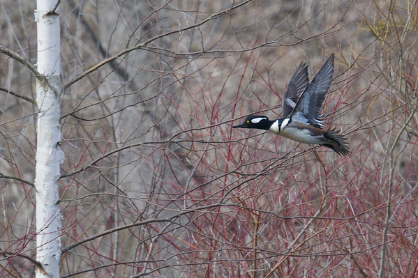 Hooded Merganser flies past trees with wings raised • Baltimore Woods Nature Center, Marcellus NY • 2019