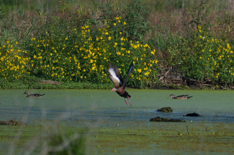 Whisling Duck (rare) takes flight in marsh • Hile School Rd Wetland, Freeville NY • 2020