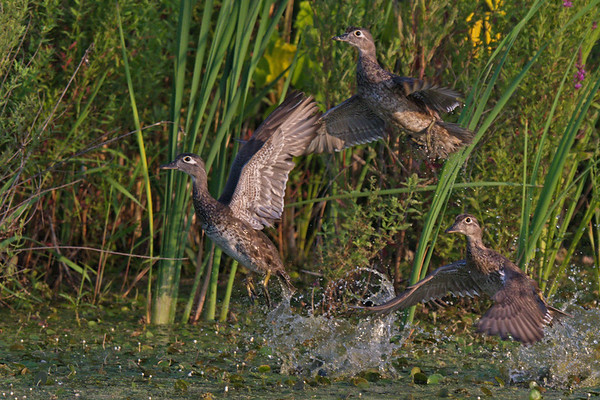 Wood Ducks - 3 females taking flight • Montezuma NWR, NY • 2016