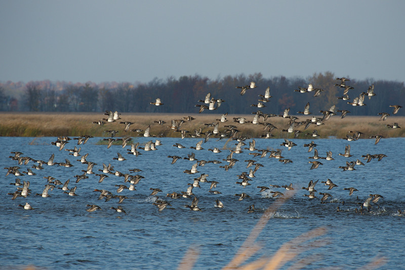 Flock of Ring-necked Ducks take flight • Montezuma NWR, NY • 2012