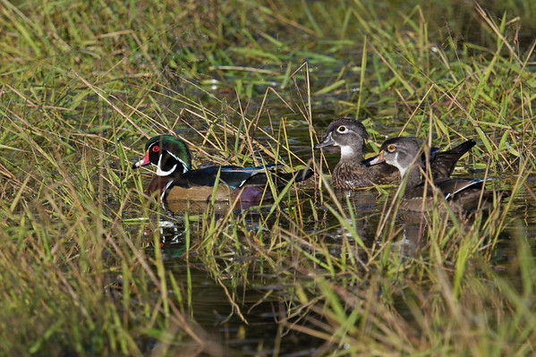 Wood Ducks male, female & juvenile swim through marsh • Jim Schug Trail at Dryden Lake, NY • 2020