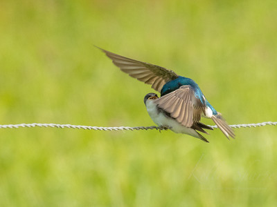 Tree Swallow and fledgling