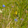 American Goldfinch in Chicory
