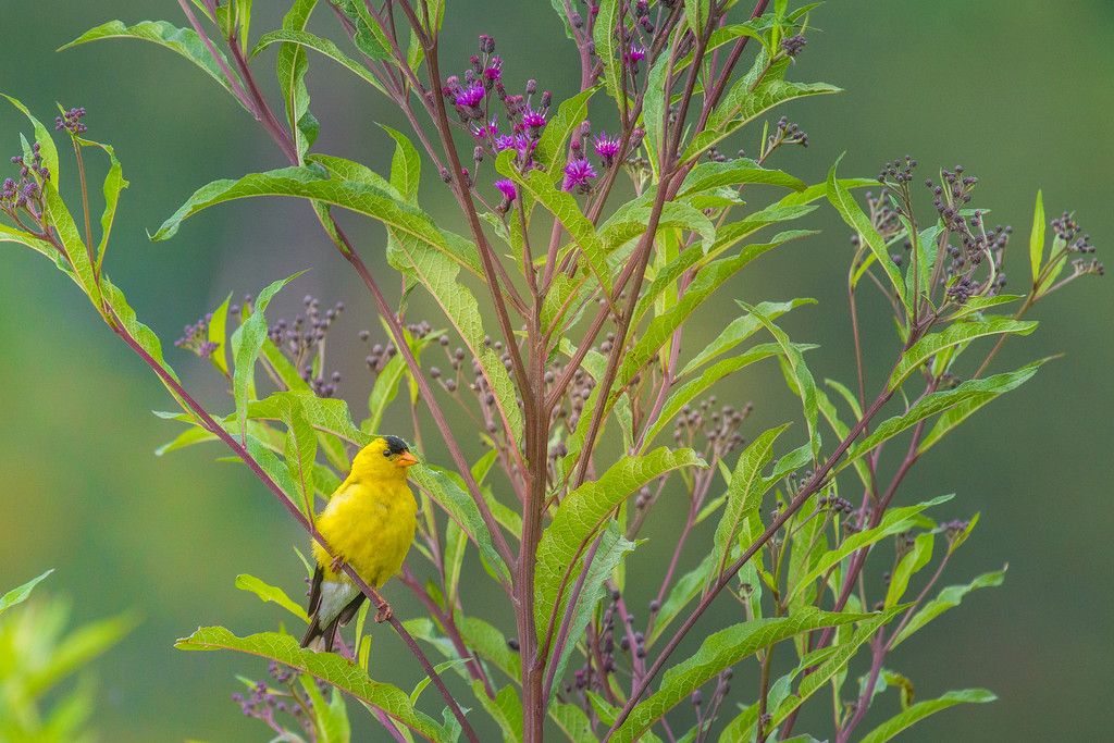 American Goldfinch in Ironweed ... Cades Cove