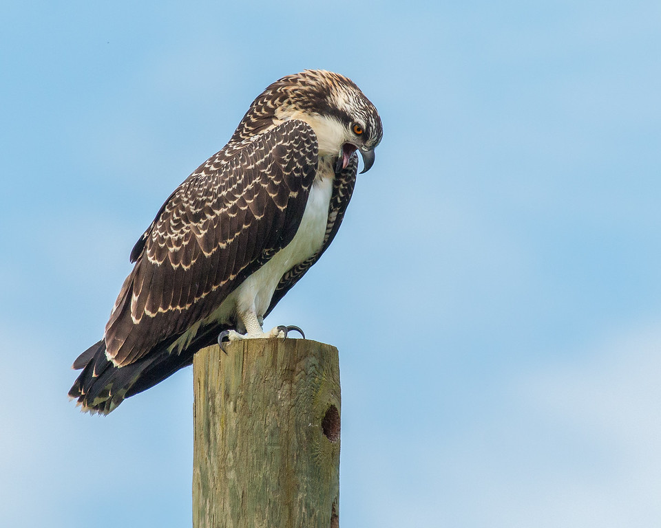Osprey Watching Over Nest