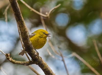 Pine Warbler. Ijams. April 2019