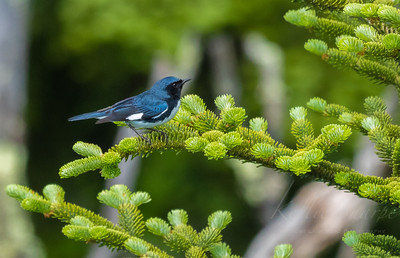 Black-throated Blue Warbler Clingmans Dome