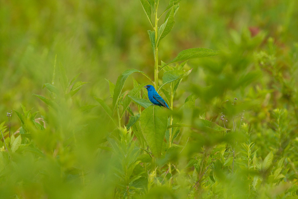 Indigo Bunting at Sunrise ... Summer 2017