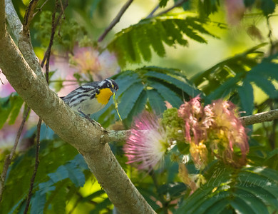 Yellow-throated Warbler in Mimosa