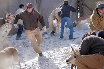 Biologist Randall Thacker sprints to catch pronghorn.