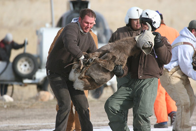 "Mike Kinghorn and Kirt Enright carry a ""lively"" young bighorn sheep to be transplanted from Antelope Island to the Newfoundland Mountains.  Photo by Phil Douglass, 1-23-06."