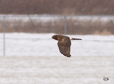 The closest I've ever gotten to a Northern Harrier. The stuff in the air is snow along with some noise from the rather huge crop.