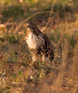 Same hawk, late afternoon, same spot as in the AM. This time nice light and he has scored dinner.