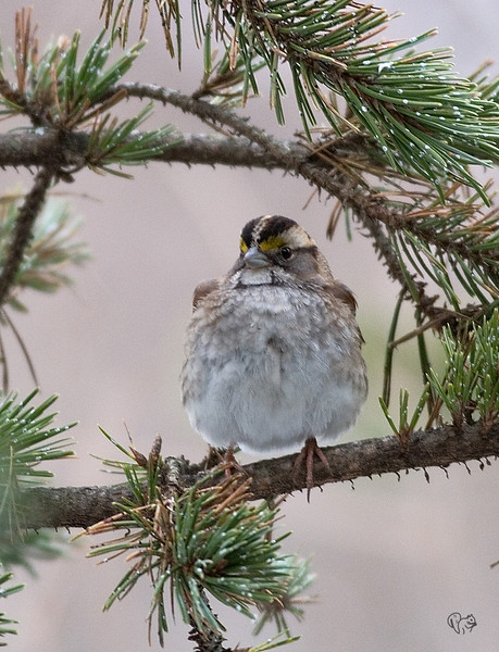 White-throated Sparrow<br /> <br /> Little bit late in the day for Dawes, loosing light, way low shotter speed 1/100..It shows, not quite crisp.