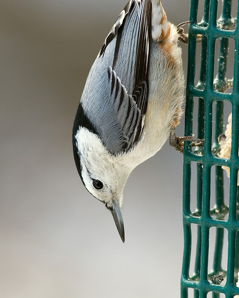 White-breasted Nuthatch<br /> <br /> Nother feeder shot, good close-up so kept it.