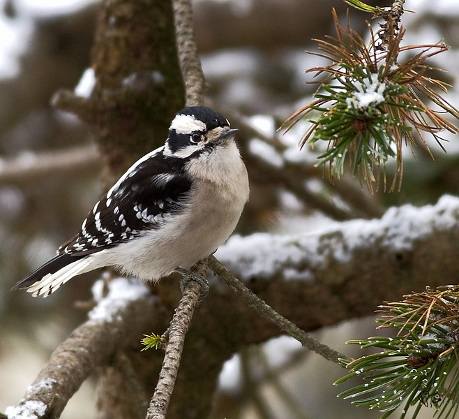 Downy Woodpecker. Been trying for ages to get a half good shot of one of these guys.