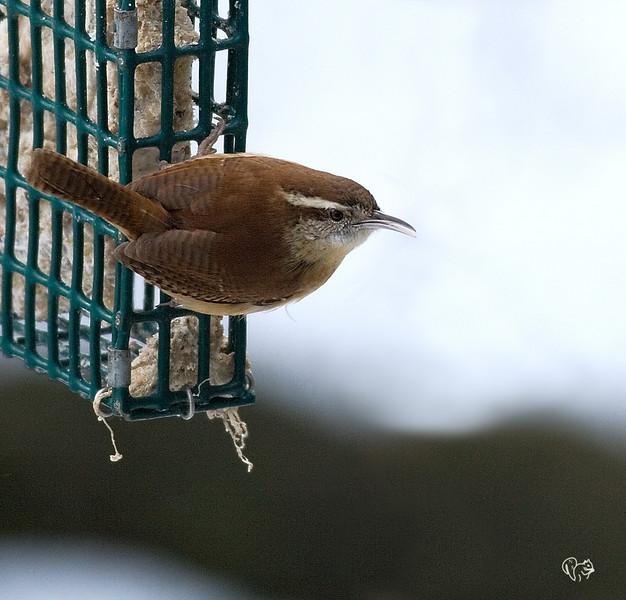 I'm not real fond of bird feeder shots, but I really like Wrens:-)