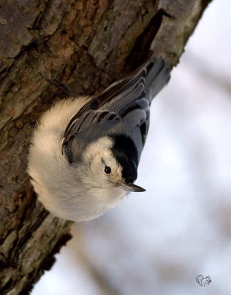 White-breasted Nuthatch<br /> <br /> Better color, more correct, that the one bottom of page. Also got the tail in this one.