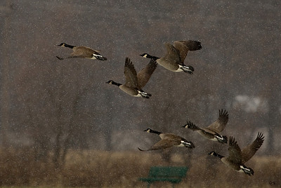 When the power goes out go out and play in the snow storm. Geese loft and don't go much heading into 50mph winds:-)