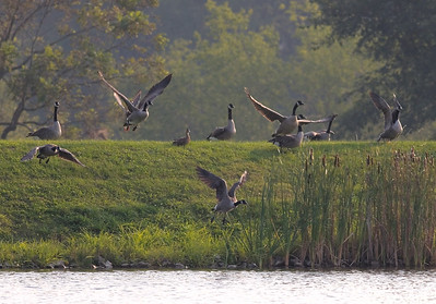 This is the second frame of the Canada Geese from the other day. More guys in flight.
