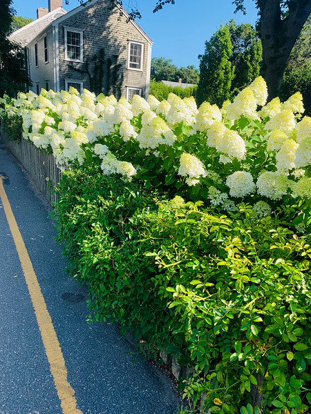 Gorgeous white hydrangeas