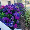 More colorful hydrangeas