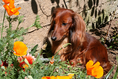 Spring in the Back Yard. Royal Sequel:  a puppy with her poppies.