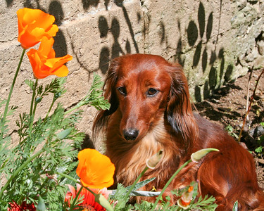 Spring in the back yard. Puppy and Poppies.