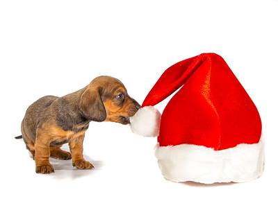 Dachshund Puppy Biting Santa Hat