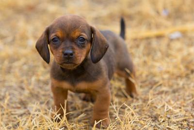 Dachshund Pup in Grass 2