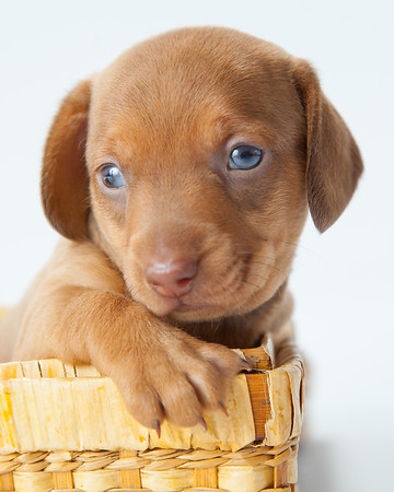 Dachshund Puppy in Basket