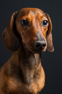 Mike the Dachshund