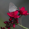 Columelia Hairstreak