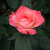 Goris Rose Garden, Victoria, TX