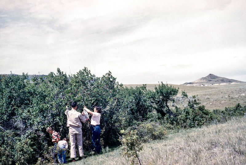 Plum Pickers, August 1952, Theodore Roosevelt NMP, ND