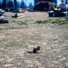 Golden manteled groundsquirrel, Mount Rainier NP, WA, September 1953