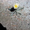 Dandelion, May 1953, Theodore Roosevelt NMP, ND