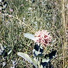 Milkweed, July 1953Theodore Roosevelt NMP, ND