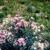 Wild asters, Mount Rainier NP, WA, September 1953