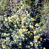 Shrubby cinquefoil, July 1953, Theodore Roosevelt NMP, ND