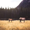 Elk along the Madison River, Yellowstyone NP, WY, September 1953